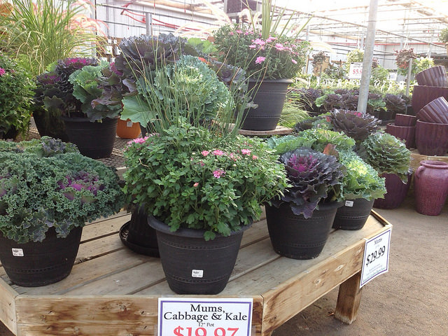 greenhouse fall planters with mums and ornamental cabbages